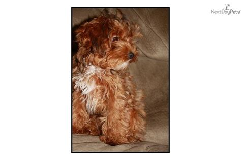 yorkie poo puppies for sale in wisconsin free teacup yorkie puppies for adoption
