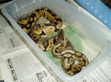 Python Is Trouble Shedding by Bad Shed No Problem