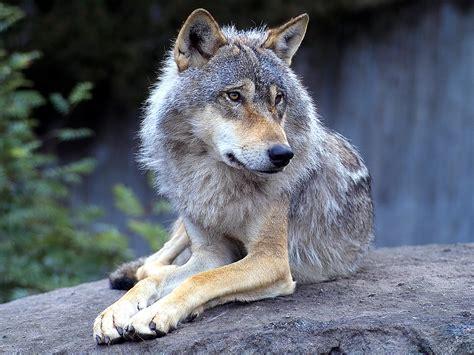 wolf s wolves wolves wallpaper 10291434 fanpop
