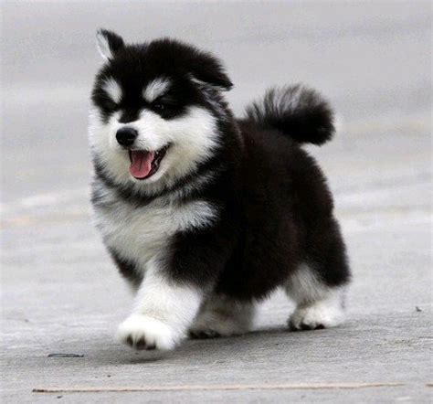 smog 分享 [我是短腿小健兒!][偶不是哈士奇喔]阿拉斯加雪橇犬(英語:Alaskan Malamute)又稱 ...
