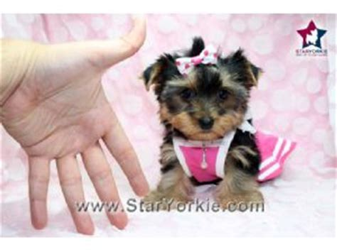 puppies for sale in ventura county terrier for sale ventura county dogs in our photo