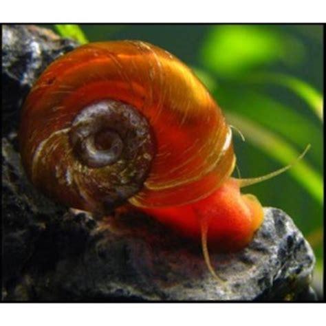 freshwater ram freshwater ramhorn snail for sale plant friendly