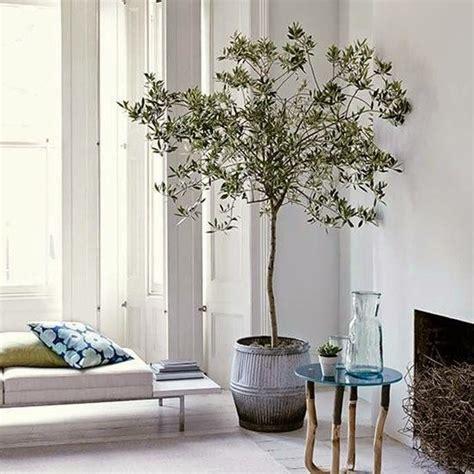 house plants    indoor olive tree living room