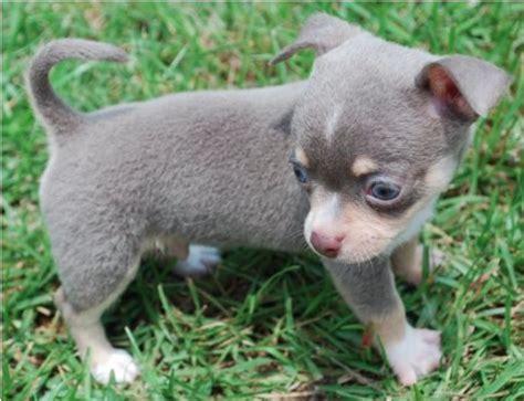 blue chihuahua puppies blue chihuahuablue chihuahua