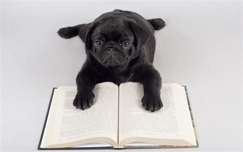 book of pugs pug reading wallpapers pug reading stock photos