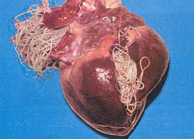 heartworm symptoms common parasites symptoms and prevention of puppy parasites