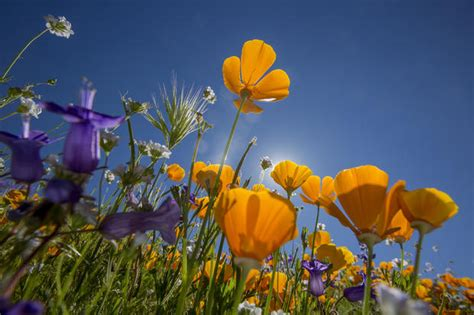 diamond valley lake  california super bloom