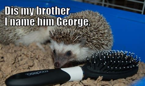 Hedgehog Meme - cute baby hedgehog