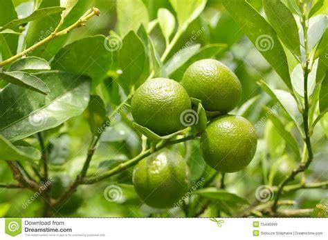 Imagenes De Naranjas Verdes | peque 241 as naranjas verdes im 225 genes de archivo libres de