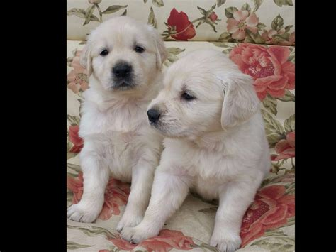 comfort retrievers for adoption kc golden retrievers puppies for sale