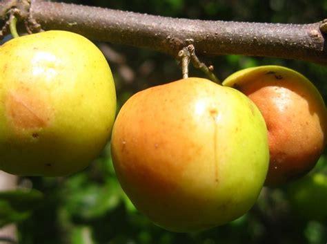 Biji Benih Tanaman Buah Indian Jujube tanaman apel india putsa indian jujube bibitbunga