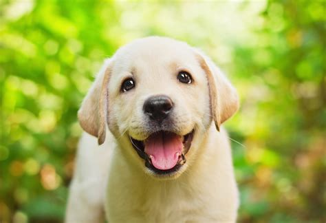 how much puppy food to feed lab puppies top 3 food choices for your lab puppy 2017 buyer s guide mysweetpuppy net
