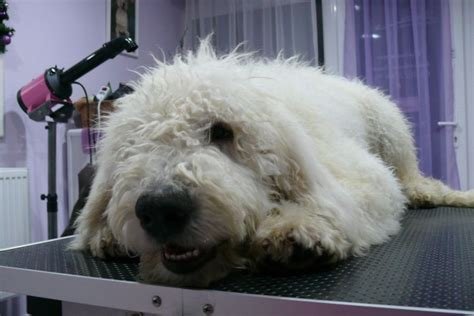 komondor puppies for sale komondor puppy for sale 5mth ready now manchester greater manchester pets4homes