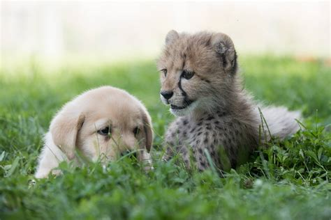cheetah puppy a baby cheetah and a labrador puppy are the cutest bffs and will basically be raised