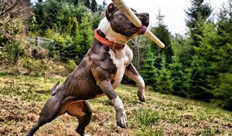 how to build on a pitbull puppy how to build in dogs