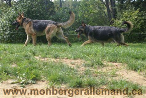 lade le berger chiots berger allemand a vendre ne le 4 sept 2010 lign 233 233