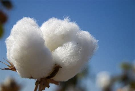 cotton yield forecasting in tashkent province by using