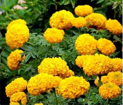 Dr Kevin Marigold Flower Hijau is same as flowers among the garden we can meet many