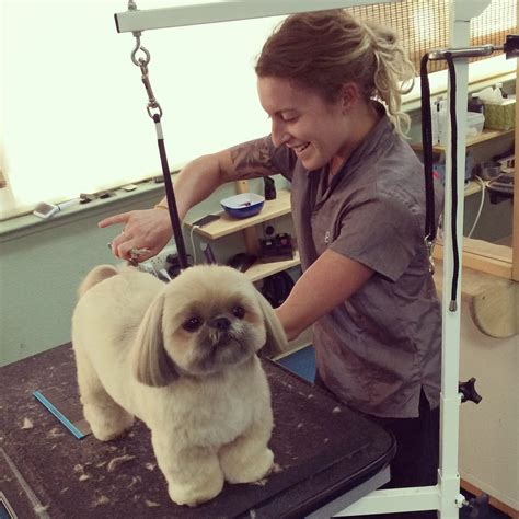 pet haircuts near me gina h grooming our shih tzu yelp