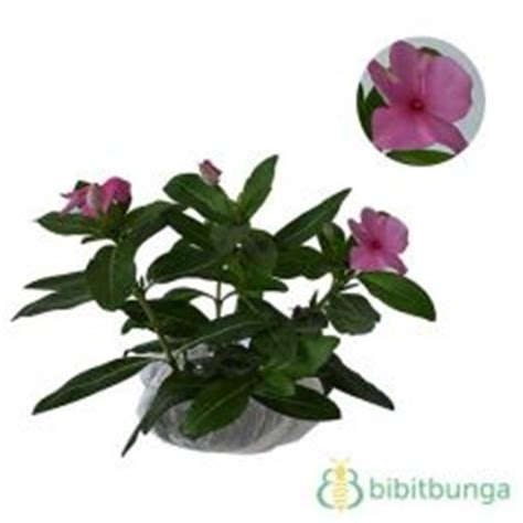 Bibittanaman Herbal Som Jawa Ginseng Jawa tanaman som jawa ginseng jawa bibitbunga