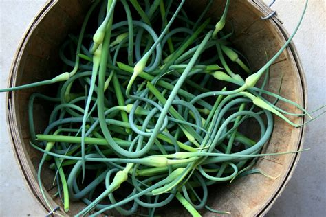 garlic scape pestopeak performance