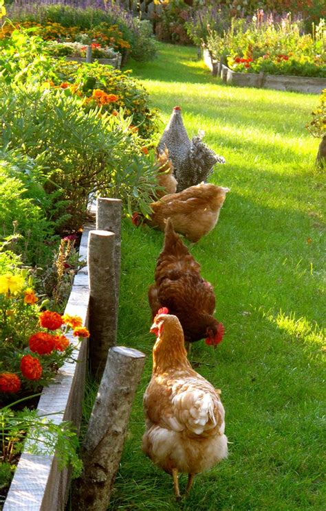 Farm Animals Country Dreams Pinterest My Backyard Chickens