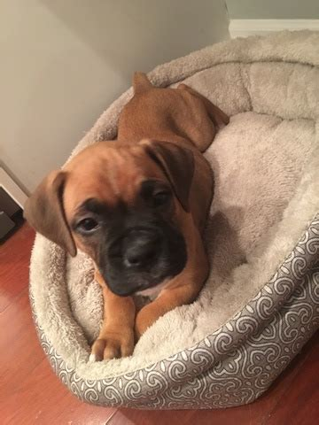 boxer puppies indianapolis view ad boxer puppy for sale indiana indianapolis usa