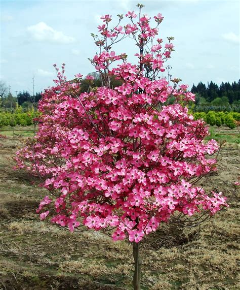 small pink tree cornus florida cornus florida chief