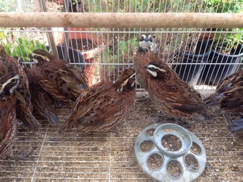 backyard quail bobwhite quail questions backyard chickens gogo papa