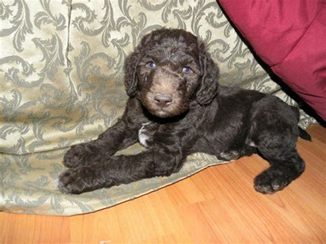 puppy temperament test the puppy temperament test aussiedoodle and labradoodle puppies best labradoodle