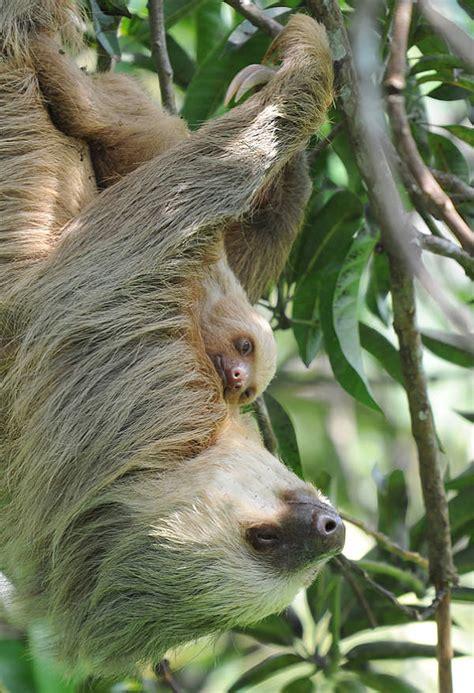 sloth facts animal facts encyclopedia