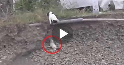 cat saves puppy from ditch cat rescues a tiny puppy stuck in ditch touching moment