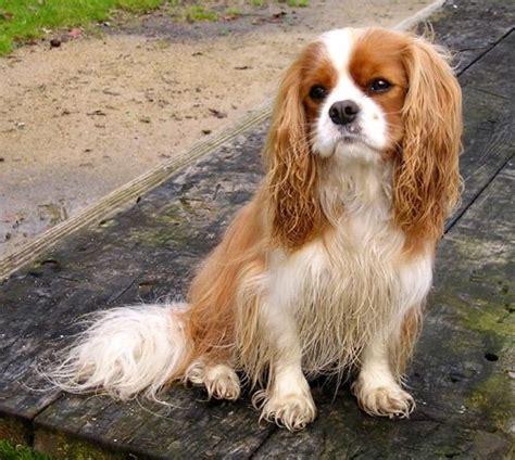 Cavalier King Charles Spaniel (CKCS) Dog Breeders Profiles ...