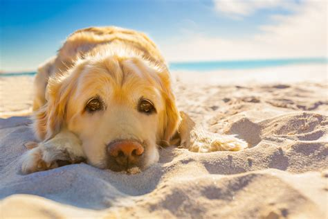 golden retriever diarrhea treatment excess thyroid hormone in dogs symptoms causes