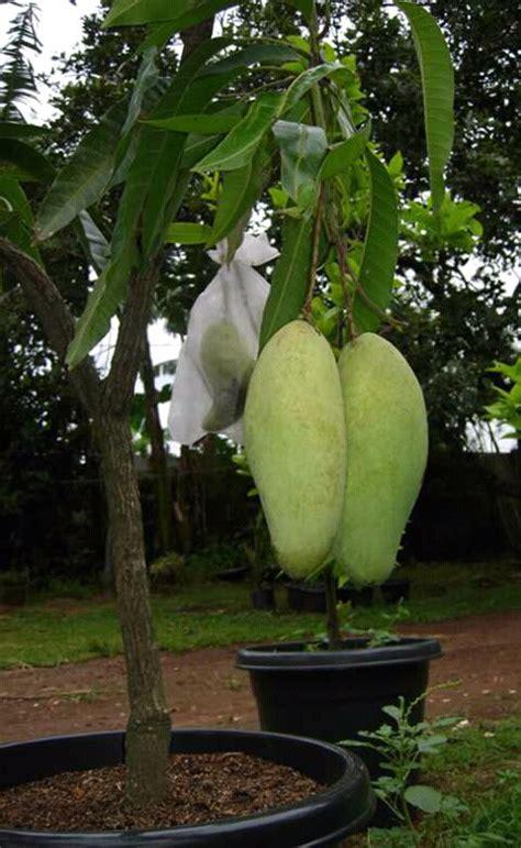 Bibit Buah Mangga Kiojay buah mangga kiojay jualbenihmurah
