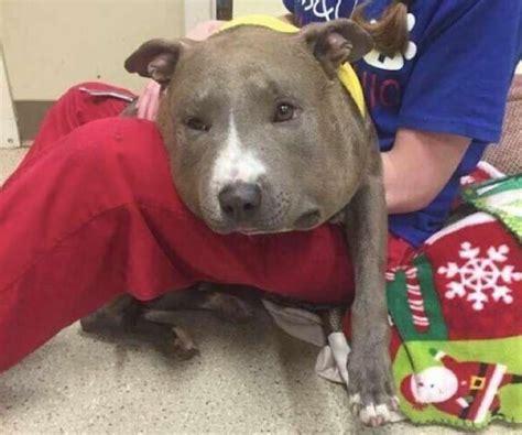 rescue dogs rock nyc ven a una perrita pitbull vagabundeando por las calles luego se dan cuenta de qu 233