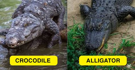 the difference between alligators and crocodiles this is the difference between a crocodile and an alligator i m a useless info junkie
