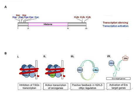 protein z function h2a z histone variant structure and function a h2a z