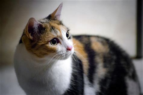 calico cats everything you wanted to know cat world