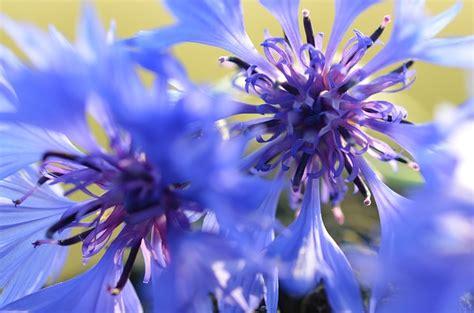 L1299 In Bloom Blue Flower Set Size S Kode V1299 cornflowers blue flower bloom flowers meadow domain pictures free pictures
