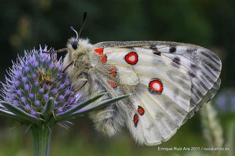 mariposas de espaa y insectos que parecen joyas hermosas mariposas coloridas