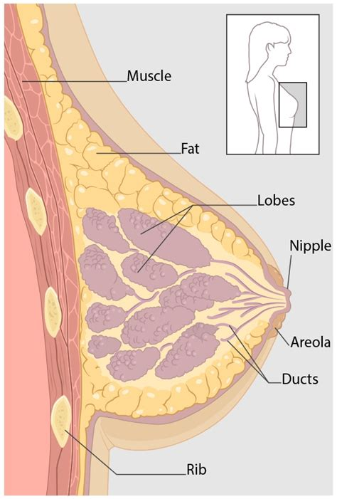 diagram of breast tissue cdc what is breast cancer