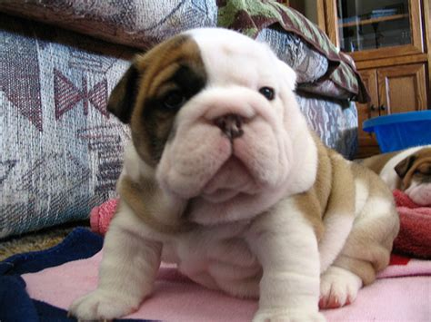 shar pei puppies for sale craigslist shar pei beagle mix puppies for sale quotes