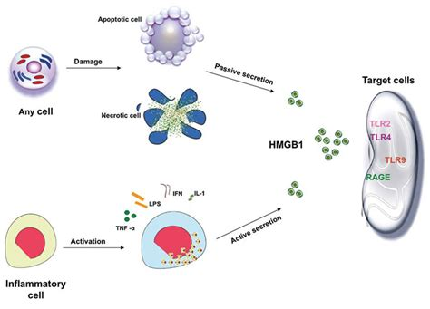 How To Detox Apoptotic Nuclear Antigen by How A Nuclear Molecule Alarms The Immune System The