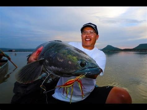 ikan gabus tomang  kg agaclip   video clips