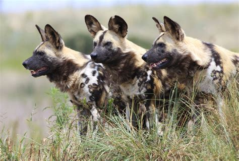 best place to find puppies 10 best places to see dogs in south africa