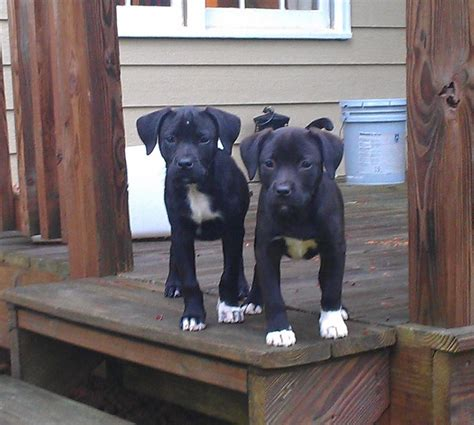 lab pit mix puppies why is the pitbull lab mix aka labrabull such a great animalso