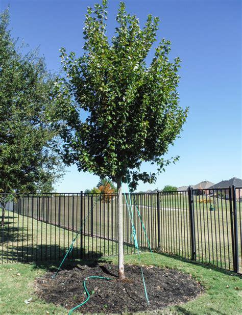 october maple tree dallas treeland nursery