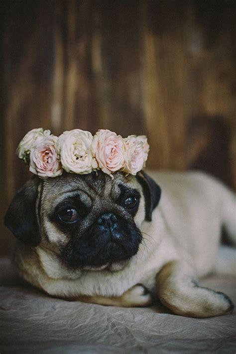 pug wallpaper tumblr
