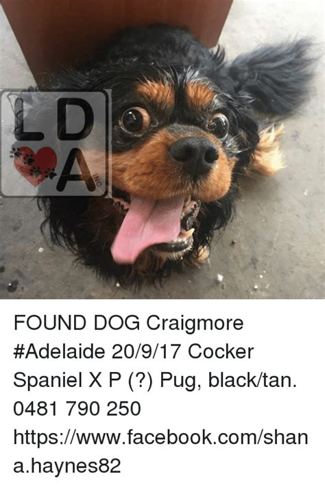 pug puppies adelaide found craigmore adelaide 20917 cocker spaniel x p pug blacktan 0481 790 250